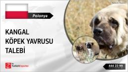 TURKISH KANGAL DOG PUPPIES PRICE REQUEST FROM POLAND